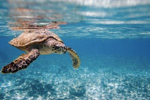 turtle-diving-seychelles